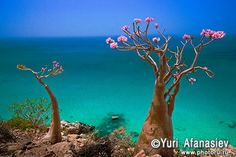 Yemen, Socotra islands. Socotra Desert Rose or Bottle Trees, adenium obesum sokotranum.