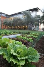 UC Davis Good Food Garden next to Mondavi Center at UCD.