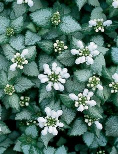 Plant | Lamium, White Nancy