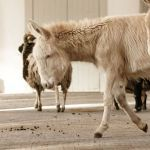 Die Biologie des Esels, seine Domestikation, die verschiedenen Rassen, Grundlagen Workshop, Horses, Animals, Baby Horses, Donkeys, Biology, Atelier, Animales, Animaux