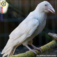 Albino Raven by BCOL CCCP, via Flickr