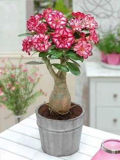 5 Pcs Mini Desert Rose Seeds Adenium Obesum Seeds Double Petals Balcony Bonsai Flowers Seeds True Seed Beauty Your Garden Succulent Tree, Cacti And Succulents, Planting Succulents, Potted Flowers, Flowering Plants, Rose Flowers, Plantas Bonsai, Exotic Flowers, Beautiful Flowers