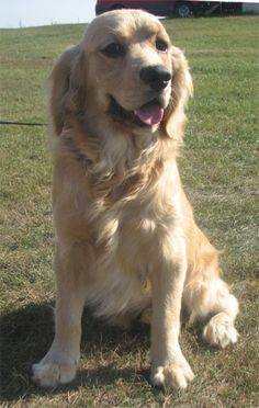 "dakota golden retrievers | Teddy"" is a Dakota Sport Retriever. He is the father to Tiger."