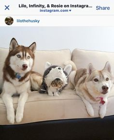 「ハスキーになりたい、という夢がとうとう叶ったにゃ」(ネコ)  ハスキー犬といっしょに育ってきた、ネコのロージーちゃん。自分もハスキー犬だと思い込んでるそう。並んでいる姿がかわいい。  https://instagram.com/lilothehusky/