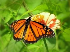 Monarch Butterfly is on a peach colored Zinnia in our Summer New Hampshire wild garden in New England.