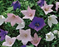Balloon Flower Seeds ★ MIXED FUJI ★ Balloon Like Buds ★ Perennial ★ 20 Seeds ★ Balloon Flowers, White Balloons, Flowers Perennials, Flower Seeds, Garden Plants, Bud, Floral, Flowers, Gem