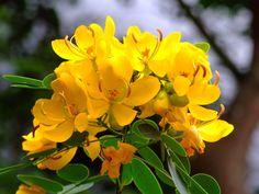 CAESALPINIACEAE 蘇木科 - Sunshine Tree (Cassia surattensis / …   Flickr - Photo Sharing!