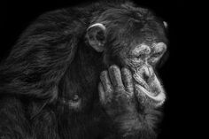 Homepage of Wolf Ademeit, Photographer, Animals Types Of Monkeys, Ape Monkey, White Pencil, Baboon, Primates, Black And White Pictures, Photo Studio, Animal Photography, Pet Portraits