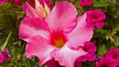 Damit die Dipladenia gut gedeiht, müssen Sie die Pflanze gut pflegen. Andernfalls kann sie schnell eingehen. Bei zu viel Wasser können außerdem die Blüten Schaden nehmen. Worauf es bei der Dipladenia ankommt, haben wir für Sie zusammengefasst. Pots, Most Beautiful Pictures, Projects To Try, Gardening, Weddings, Wax, Flowers, Climbing Vines, Planting Flowers
