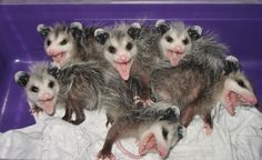 Opossums have more teeth than any other land mammal -- So, we've got 300 sharp ones here. Count them! Nocturnal Animals, Animals And Pets, Baby Animals, Funny Animals, Cute Animals, Animal Babies, Baby Possum, Opossum, Funny Animal Pictures