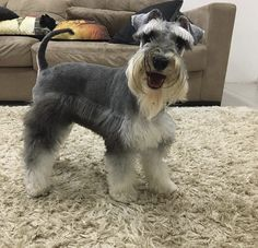 #schnauzer #minischnauzer Standard Schnauzer, Mini Schnauzer, Miniature Schnauzer, Beagle Funny, Funny Pugs, Cute Puppies, Cute Dogs, Adoptable Beagle, Shih Tzu Dog