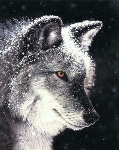 Wolf sprinkled with snow. Is it a drawing, painting or photo? Good subject matter for a drawing!