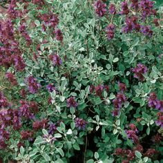 Salvia dorrii (Desert purple sage). Prefers well draining, alkaline soil, and loves full sun. Perfect for hell strip.
