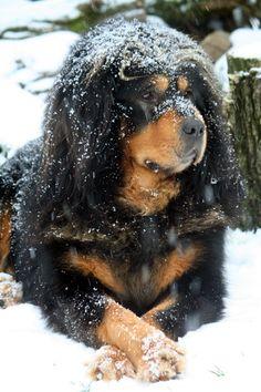 Tibetan Mastiff - Ao
