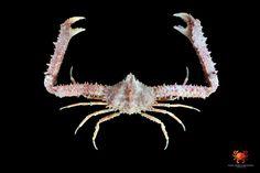 Spinolambrus pourtalesii