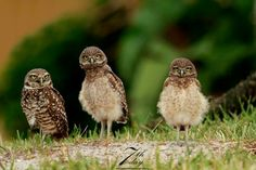 Burrowing owl (Athene cunicularia) family portrait. The Adult is on the left. Florida - United States