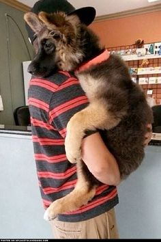 Dogs that are treated properly have the best temperaments and they hold no reservations in showing the love they have received. 7 Ways How To Show Your Dog Love Love My Dog, Animals And Pets, Baby Animals, Funny Animals, Funny Dogs, Silly Dogs, Wild Animals, Cute Puppies, Dogs And Puppies