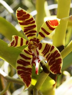 Flower-detail of Staurochilus fasciatus
