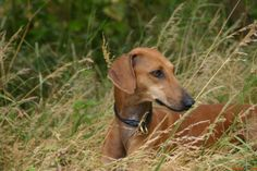 High quality wallpapers African greyhound