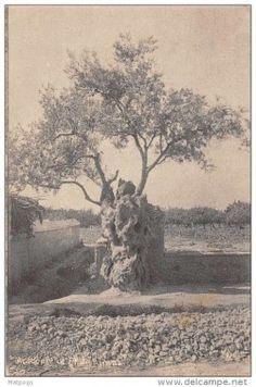 Πυρφόρος Έλλην: Η Ελιά του Πλάτωνα έζησε μέχρι τις 7 Οκτωβρίου του...