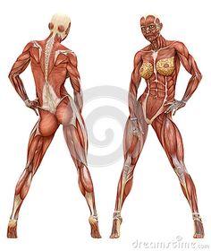 Женская мышечная анатомия системы