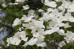 Growing tips for Eddies White Wonder, a showy hybrid dogwood that produces lots of flowers. (Photo by Richie Steffen, Great Plant Picks) everettherald Deciduous Trees, Trees And Shrubs, Trees To Plant, My Flower, Flower Pots, Shade Garden Plants, Dogwood Trees, Plant Information, Hardy Perennials