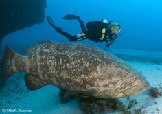 Scuba Diving: Goliath Groupers Are Here in Numbers