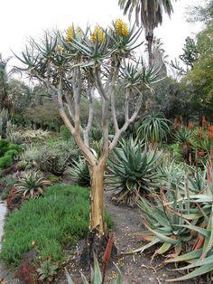 juniperus communis 39 hibernica 39 baumschule lorenz von ehren baumschulen seit 1865 wir. Black Bedroom Furniture Sets. Home Design Ideas