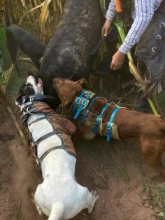 Pitbulls catching hogs Massive Dogs, Hog Dog, American Bull, Hog Hunting, Real Dog, Cane Corso, Working Dogs, Pitbull Terrier, Beautiful Dogs