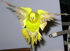 Budgie in flight by greencheek on DeviantArt