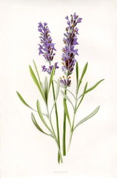 Lavanda - 50 Favorite Free Vintage Flower Images - The Graphics Fairy Botanical Flowers, Lavender Flowers, Botanical Art, French Lavender, Lavander, Diy Flowers, Purple Flowers, Green Hydrangea, Lavender Oil