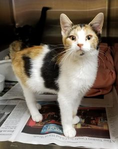 Meet Frangelica, an adoptable Calico looking for a forever home. If you're looking for a new pet to adopt or want information on how to get involved with adoptable pets, Petfinder.com is a great resource.