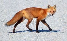 The red fox (Vulpes vulpes).   pgcps mess - Reform Sasscer without ...