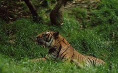 Maleise tijger