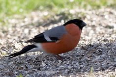 Male Eurasian Bullfinch (Dompap / Pyrrhula pyrrhula) by Stein Arne Jensen, via Flickr