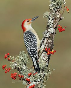 Red-bellied Woodpecker was last seen in Forest Park Queens, New York. It has a round head, red cap and a black-white striped back, with a mostly pale chest. Cute Birds, Pretty Birds, Most Beautiful Birds, Animals Beautiful, Exotic Birds, Colorful Birds, Vogel Gif, Bird Aviary, Bird Pictures
