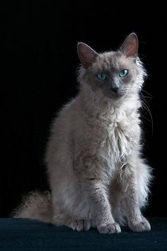 Image result for laperm cat pictures