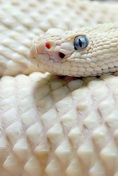 This is Snowflake, the only known leucistic (has blue eyes) Eastern Diamondback…