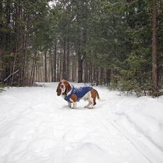 a snowy sunday stroll! by: @deanthebasset