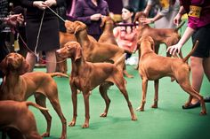 Vizsla invasion at Westminster dog show 2013