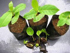 Almendro Indio (terminalia catappa)