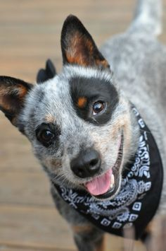 What a cutie!!! - Australian Cattle Dog Aaron wants a blue heeler so bad he can't stand it! Wish we were aloud to have one