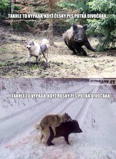 When American dog mets a Wolf hog; when Russian dog mets a wild hog Russian Dogs, Funny Animals, Cute Animals, Polish Memes, American Dog, Funny Mems, Best Memes, Fun Facts, Have Fun