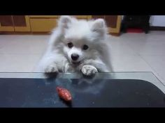Jaw Droppingly Cute Pomeranian Won't Give Up On A Treat! - All About Pomeranian Puppies