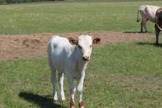 Just For Keeps as a calf.  We auctioned her off January 2013 in Fort Worth when she turned two years old and she went for $7,600.00.  She was hard to give up.