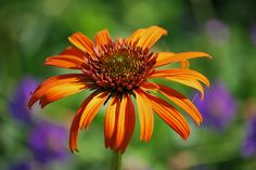 """Echinacea 'Art's Pride Orange Meadowbrite' 24 36"""" space 18 24 full sunOther details:  This plant is attractive to bees, butterflies and/or birds  Flowers are fragrant  Average Water Needs; Water regularly; do not overwater  Flowers are good for cutting"""
