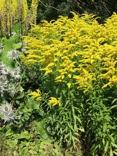 Solidago canadensis - an herbaceous perennial plant of the family Asteraceae native to northeastern North America but established as an invasive plant in many other regions. It is often grown as an ornamental in flower gardens Perennial Plant, Herbaceous Perennials, Invasive Plants, Shrubs, North America, Grass, Garden Ideas, Gardens, Patio