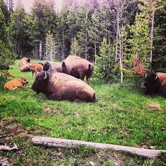 Photo by dylantprice..  Yellowstone 6/2013