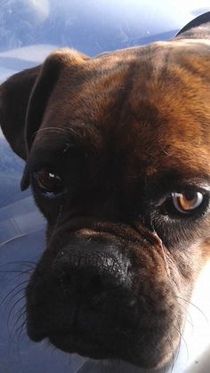 Bruno the Boxer - Stories with a happy ending | Valle Verde Animal Rescue