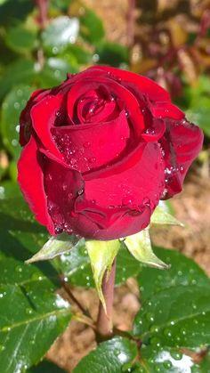 Beautiful Roses, Beautiful Images, Beautiful Flowers, Flowers Nature, My Flower, Flower Power, Good Morning Dear Friend, Morning Rose, Parcs